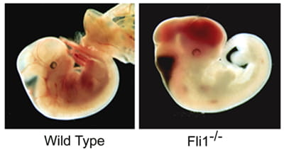 Fli1 Mutant E11 Embryos Hemorrhage