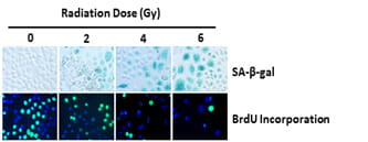 Ionizing radiation induces premature senescence in H460 lung cancer cells in a dose-dependent manner