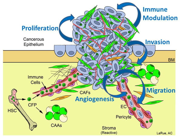 Figure 1. Potential mechanisms by which HSC-derived CFPs, CAFs and CAAs promote tumor growth and metastasis.