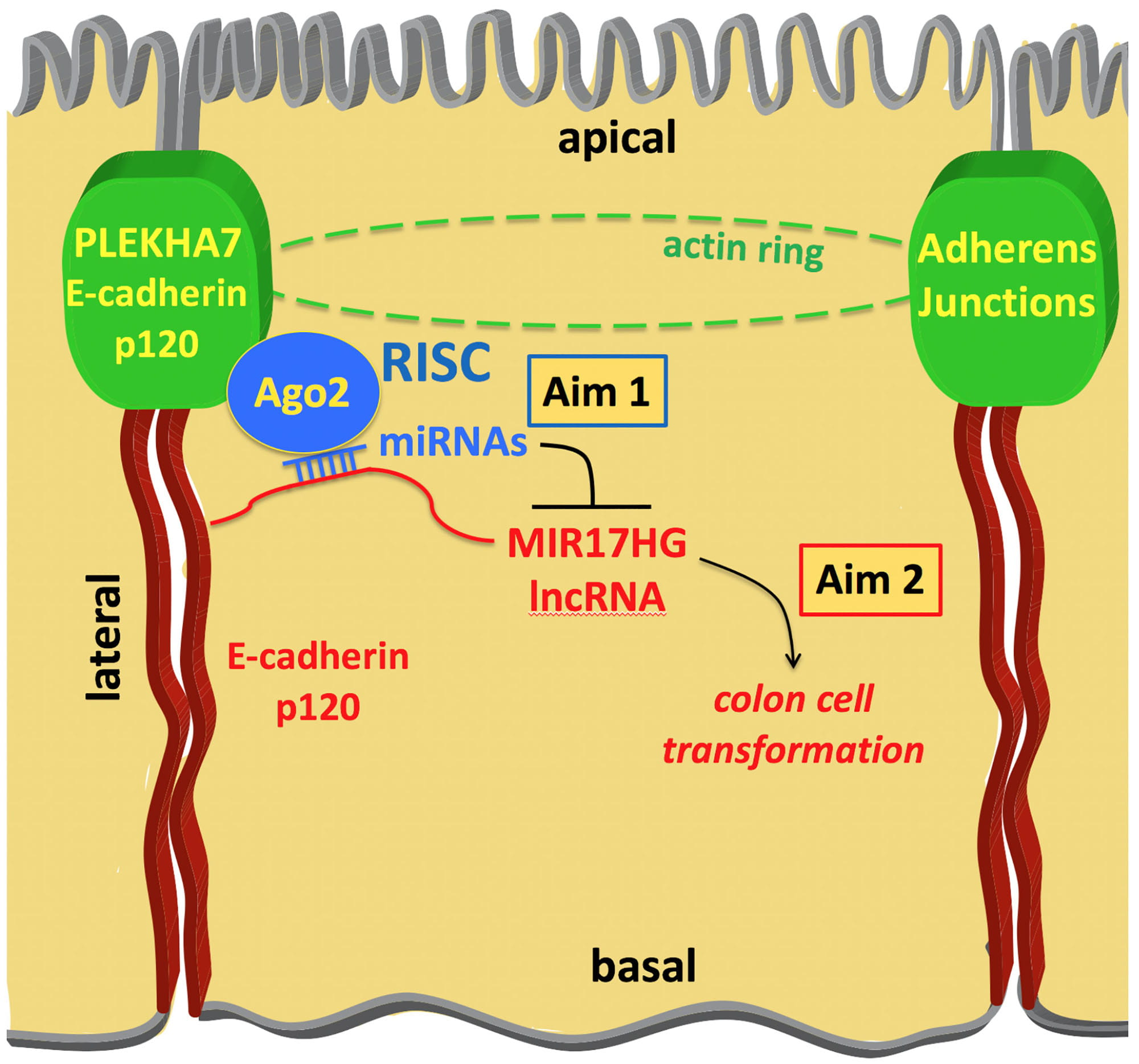 Figure 1. Outline of the proposed research. The E-cadherin - p120 catenin (p120) partner PLEKHA7 recruits the core (Ago2) and accessory components of the RNA-induced silencing complex (RISC), as well as miRNAs and lncRNAs at the apical adherens junctions of colon epithelial cells. We hypothesize that through this mechanism PLEKHA7 suppresses the MIR17HG lncRNA (Aim 1) to inhibit pro-tumorigenic cell behavior and maintain the normal epithelial phenotype (Aim 2).