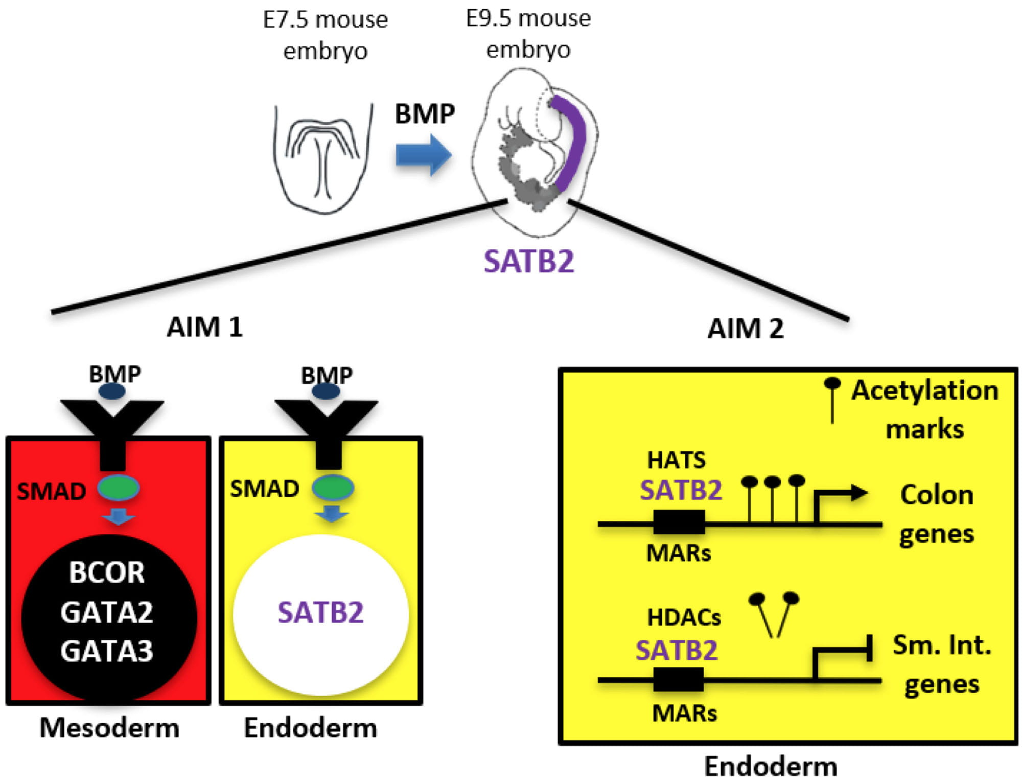 Working hypothesis for research in the Munera lab investigating the role of SMAD1 and SATB2 in colon patterning