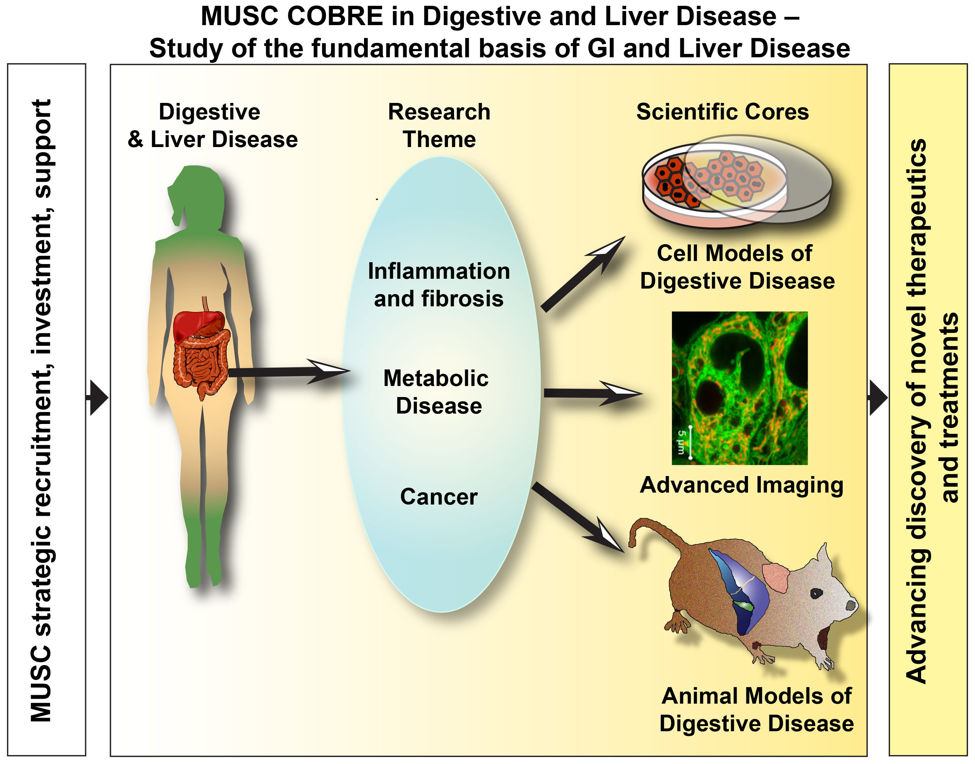 Graphical abstract of the MUSC Center for biomedical resarch excellence in digestive and liver disease