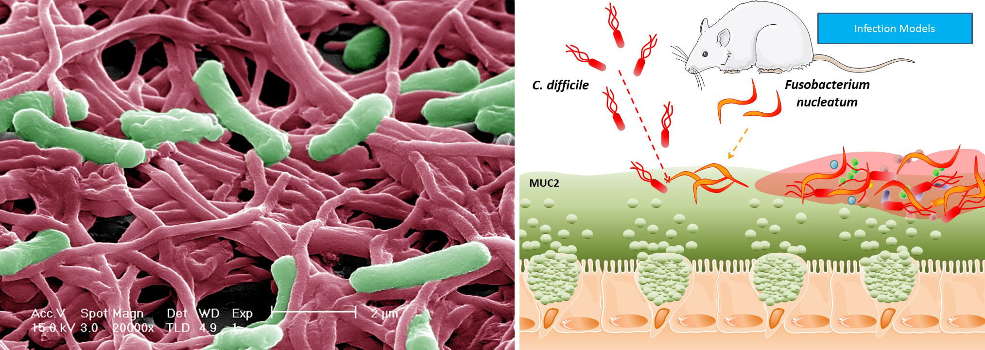 Working model of how pathogens colonize and subvert the mucus layer to cause infection