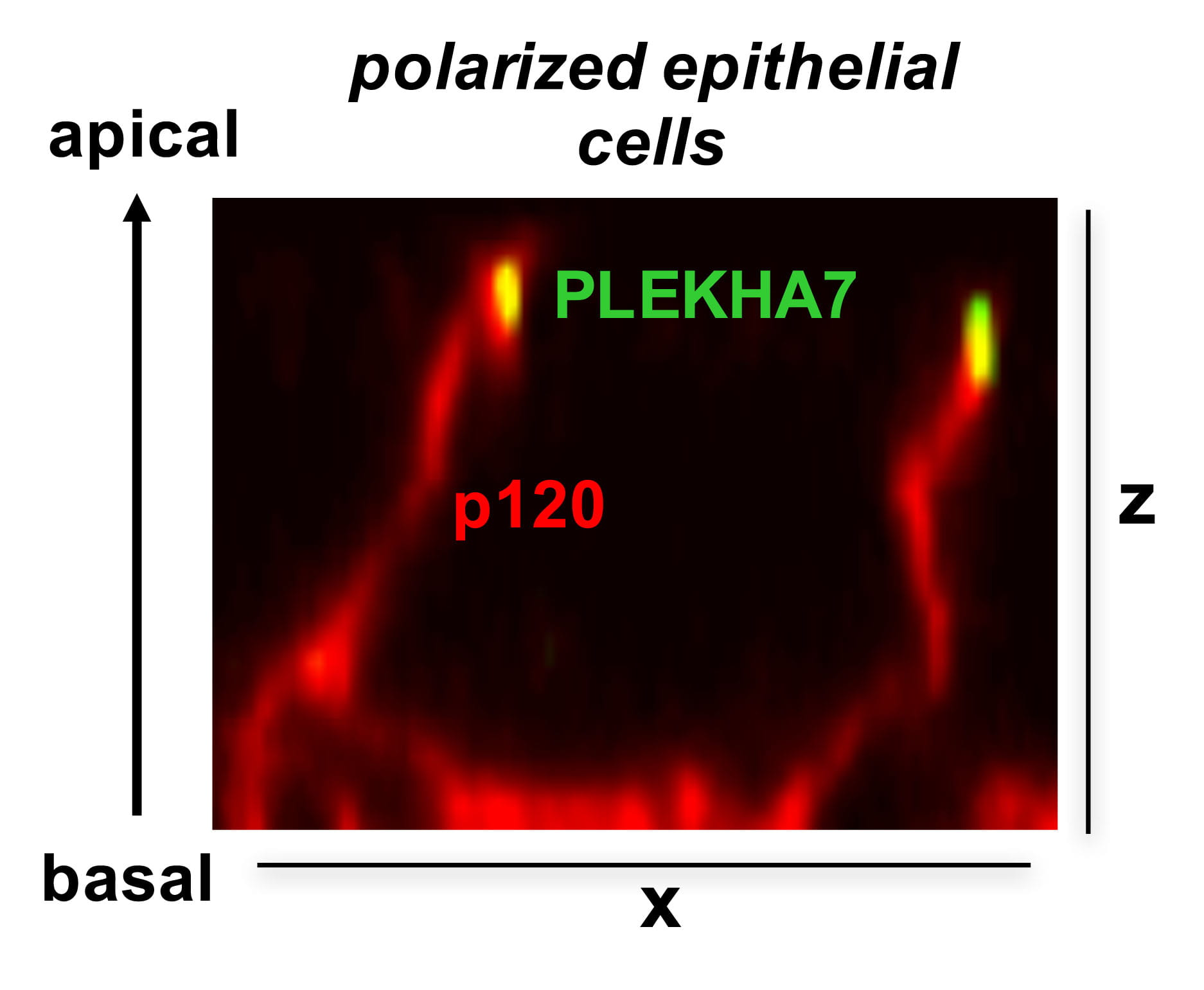 Expression of adherens junction proteins in polarized epithelial cells